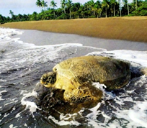 Tortuguero in Costa Rica is a world-famous nesting site for sea turtles