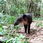 Tapirs like this one can be found in Costa Rica's Tenorio Volcano National Park