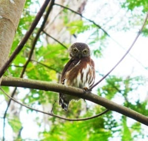 A Little Owl photographed at Veragua Rainforest near Limon in Costa Rica