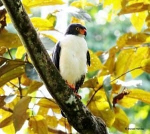 Semiplumbeous Hawk sighted at Costa Rica's Veragua Rainforest