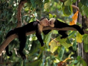 See white-faced capuchin monkeys and other wildlife hiking at Veragua Rainforest
