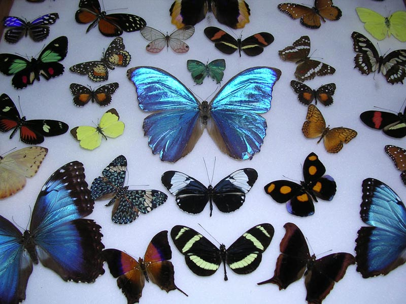 Costa Rica is home to 10% of the world's butterflies. See them at Veragua Rainforest.