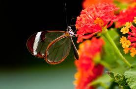Glasswing butterfly in Costa Rica