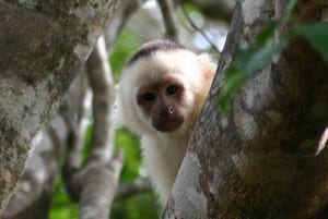 Rincon de la Vieja National Park, white faced Capuchin monkey