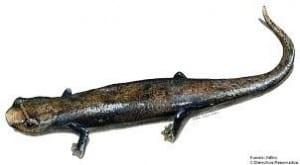 Costa Rica salamander, photo courtesy of InBio