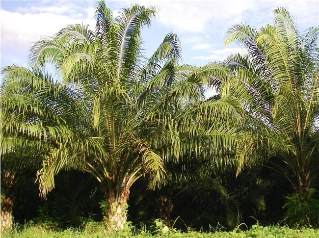 Palms along Coastal Highway, Costa Rica