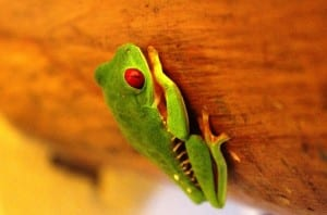 Red-eyed tree frog at Portasol