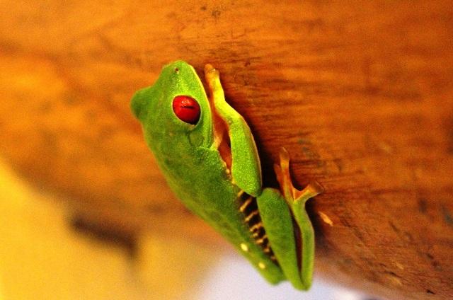 Red-eyed tree frog at Portasol