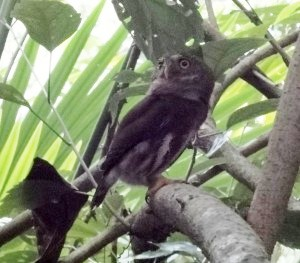 Central American Pygmy Owl at Veragua, photo by Patrick O'Donnell