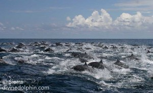 Huge-pod-of-spinner-dolphins-off-the-Osa-Peninsula-300x182