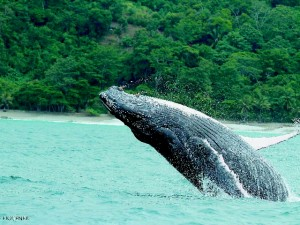 Humpback Whale breaching in Golfo Dulce