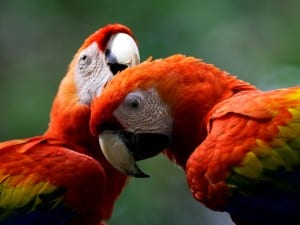 Scarlet Macaws in Costa Rica, photo by ARA Project