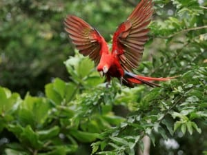 Scarlet Macaw released on Osa Peninsula, photo by ARA Project