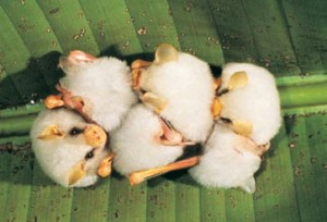 White fruit bats in Costa Rica