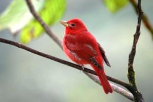 Birds Costa Rica - summer tanager