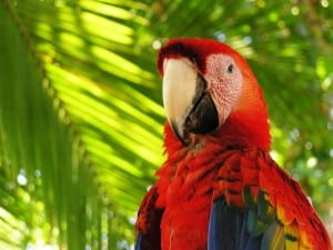 Scarlet Macaw at Playa Nicuesa Rainforest Lodge