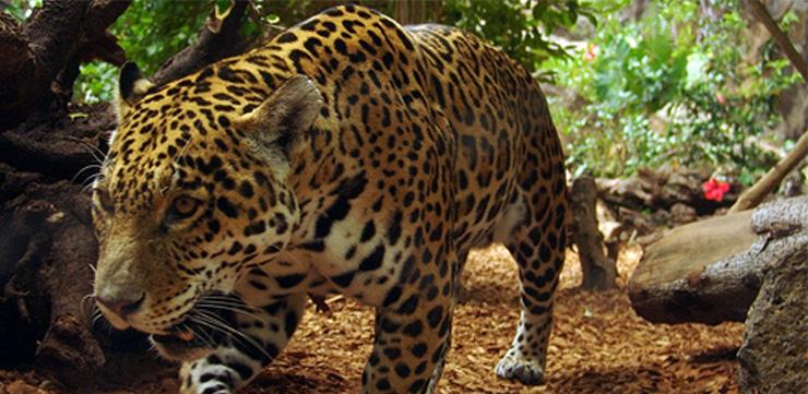 Jaguar at Corcovado