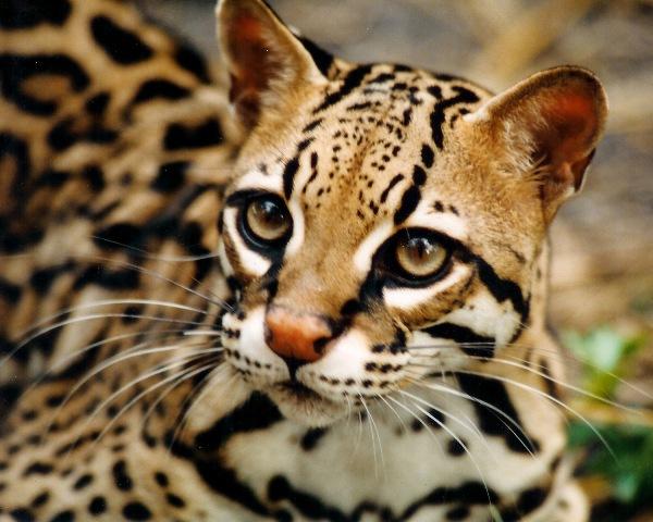 Portasol wildlife - Ocelot