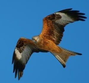 Migratory Birds - red-tailed kite