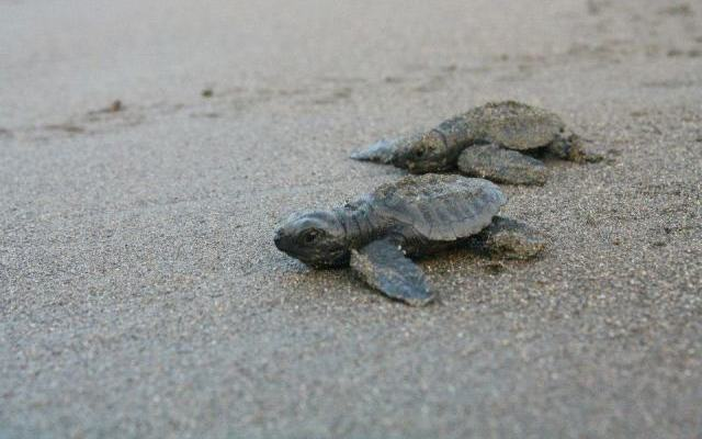 Turtle babies heading to the sea