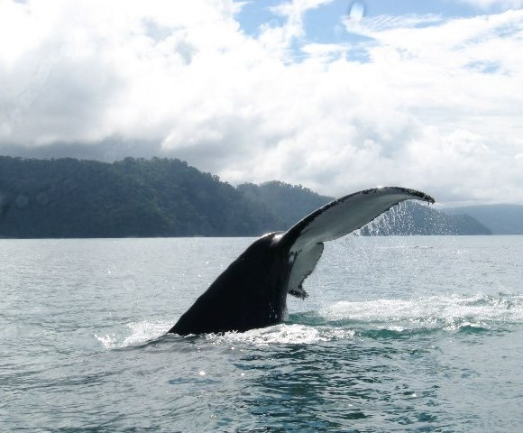Humpback whale tail, Golfo Dulce, photo by CEIC
