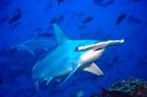 Hammerhead shark in Costa Rica, photo by Pretoma