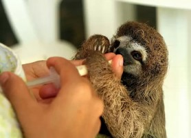 Sloth baby at Slothville in Costa Rica