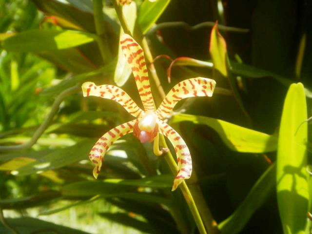 Orchid at Casa Orquideas Botanical Garden Golfo Dulce Costa Rica