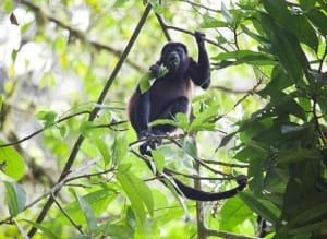 Howler monkey at Veragua Rainforest in Costa Rica
