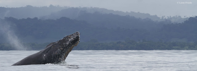 Humpback Whale in Golfo Dulce, photo by Lenin Oviedo of CEIC