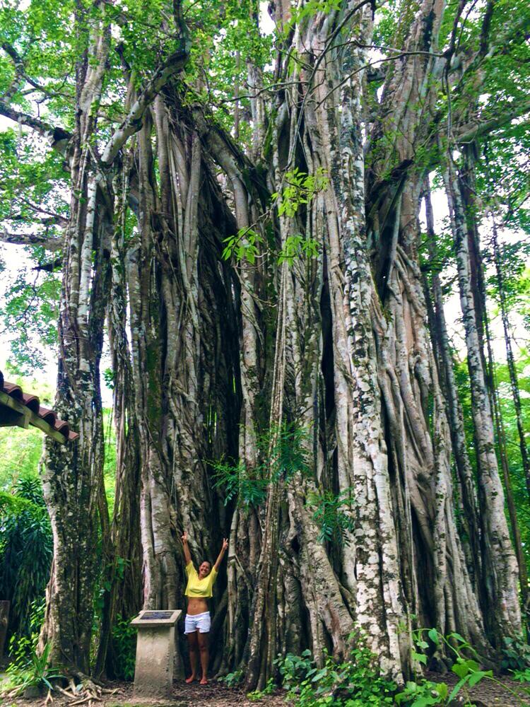 Famous Banyan Tree, photo credit Nancy Goodfellow, Pranamar Villas
