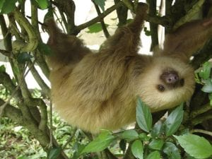 Two fingered sloth. photo credit Wikimedia.