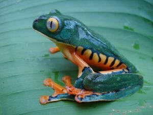 Tiger Frog at Veragua Rainforest in Costa Rica Caribbean