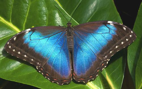 Butterfly Morpho at Veragua Rainforest