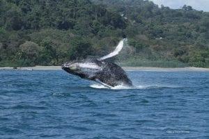 Humpback Whale Golfo Dulce costa rica