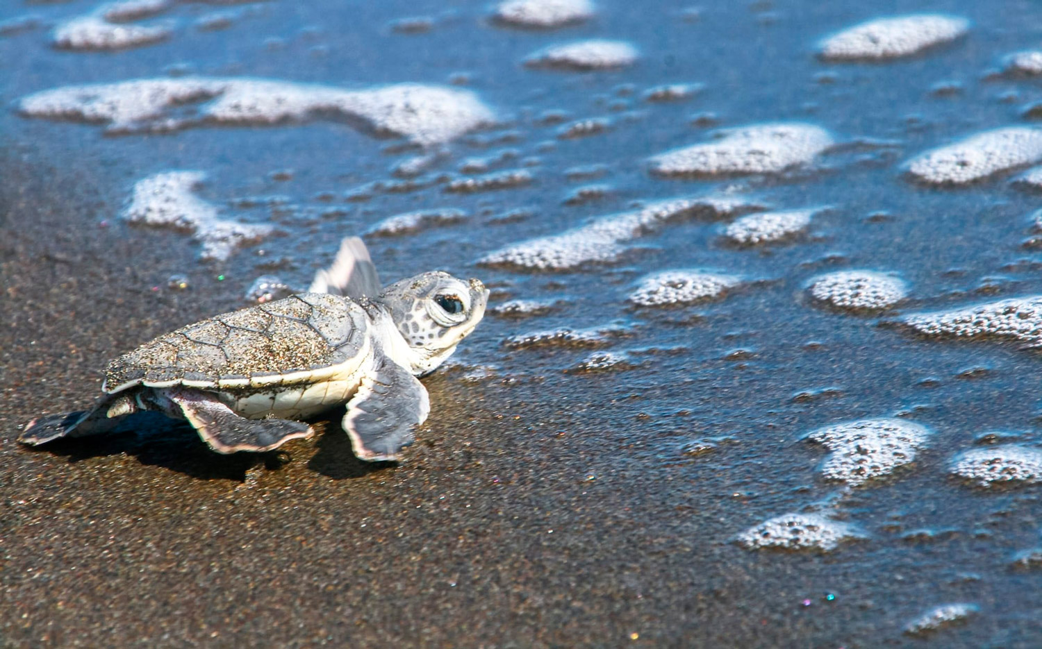 Tortuguero-a-treasured-place-for-visitors-and-turtles